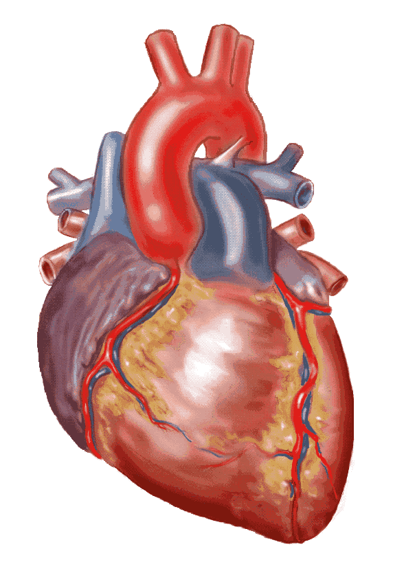A Drug to repair damaged Heart Muscle in an attack! - International ...