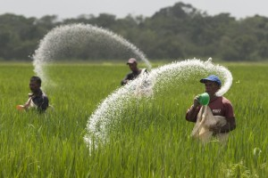 Farmers cast urea fertilizer in a rice plantation on the expropriated and now redistributed farm of El Charcote in the central state of Cojedes