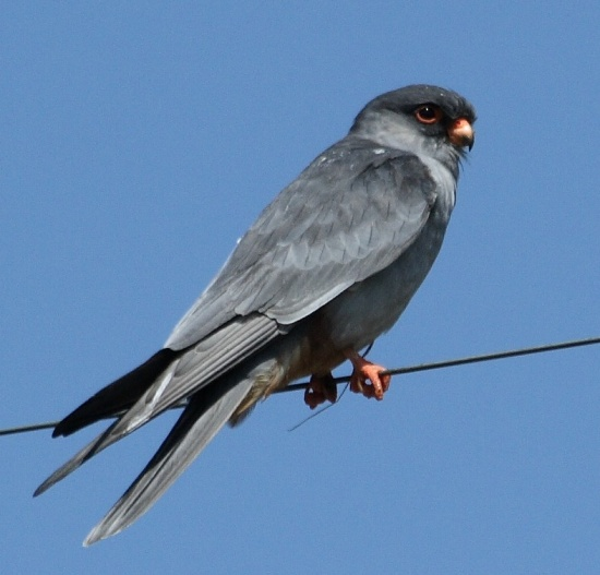 New migratory path of Amur falcons surprises Ornithologists