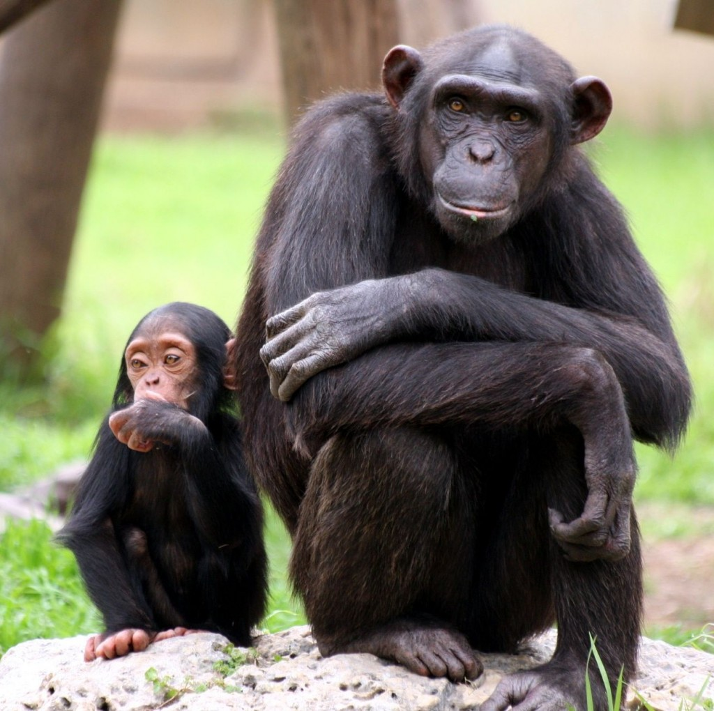 Captive primates to get endangered species protection in the US