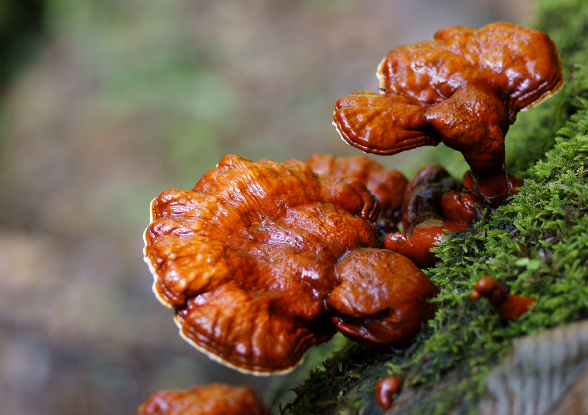 Ganoderma lucidum, Mushroom used in Chinese medicine reduces weight gain: Research