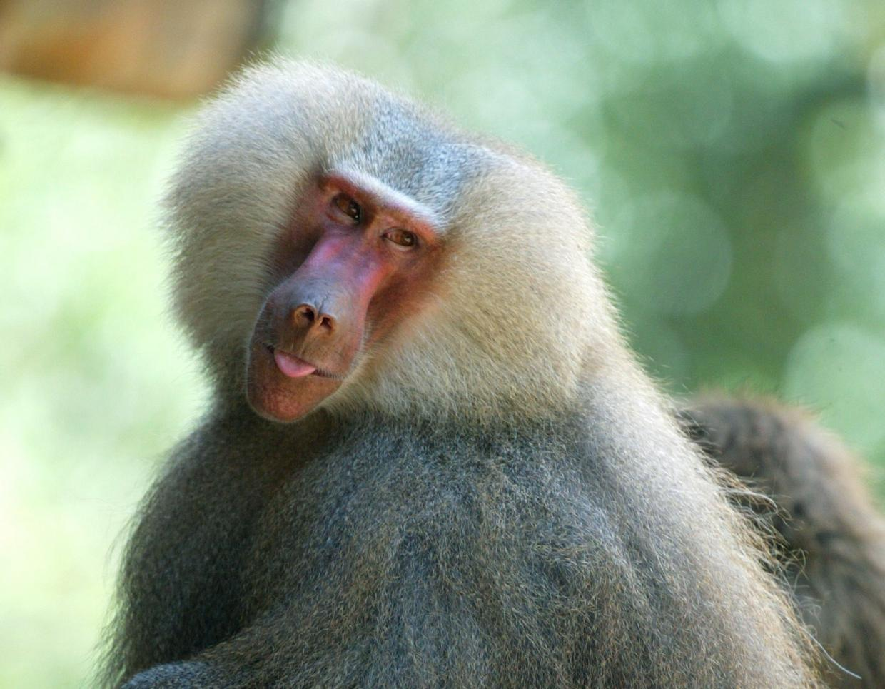 Pig heart operates in baboon for 2 years