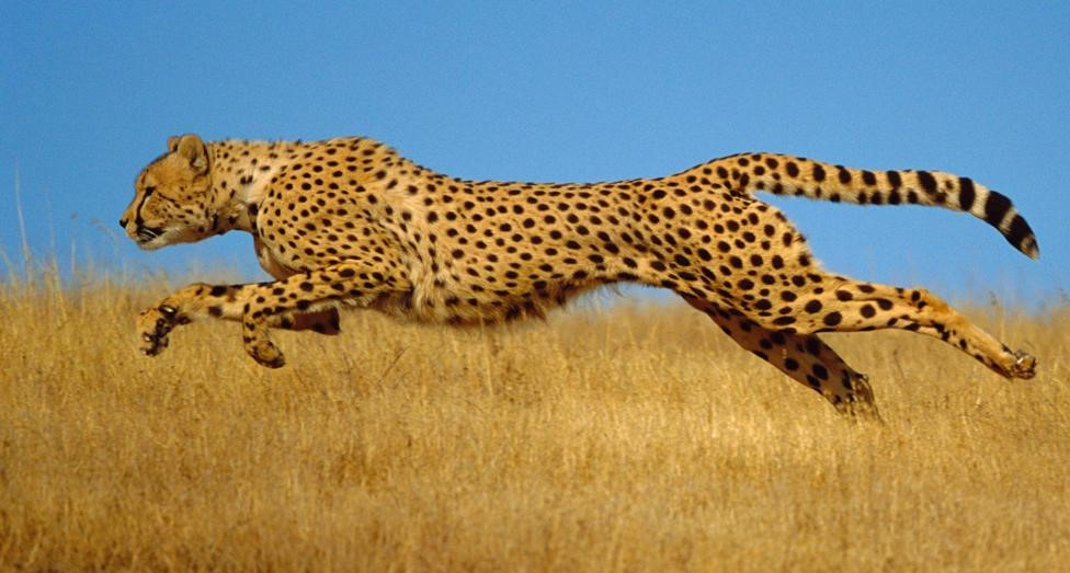 How some animals accelerate faster than all the others
