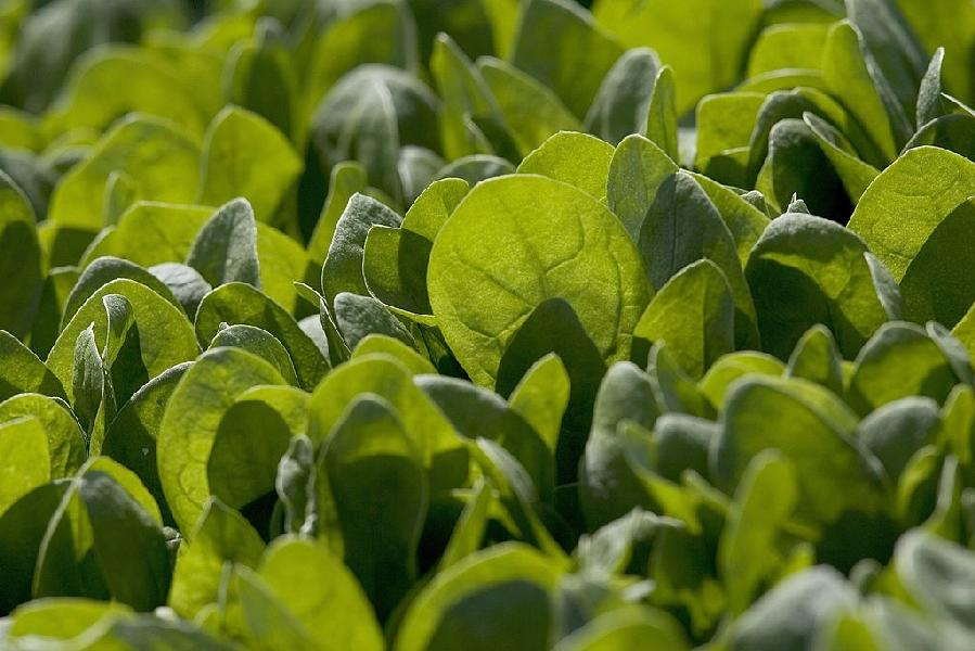 Spinach Plants can detect explosives