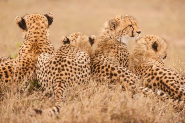 The Cheetah is Fast moving towards extinction