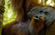 """Evolution of Human Language may be learned from Orangutan """"Kiss Squeaks"""""""