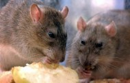 Rat-related Disease Discovered in New York, 1 Person Dead