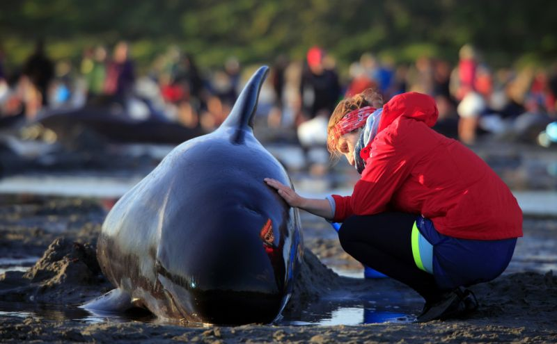 400 Whales Stranded, New Zealanders Manage to Refloat 100