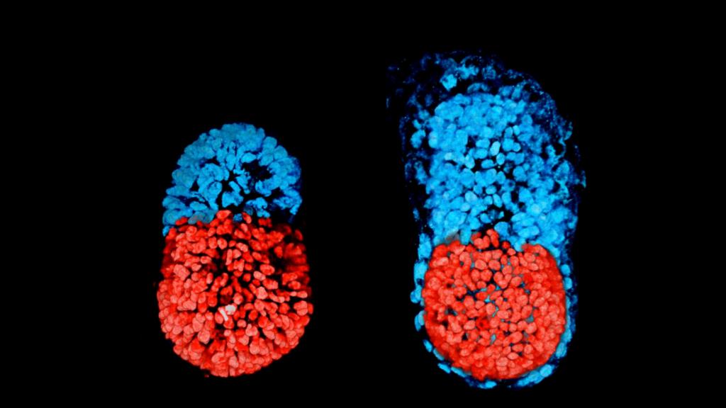 Artificial embryo