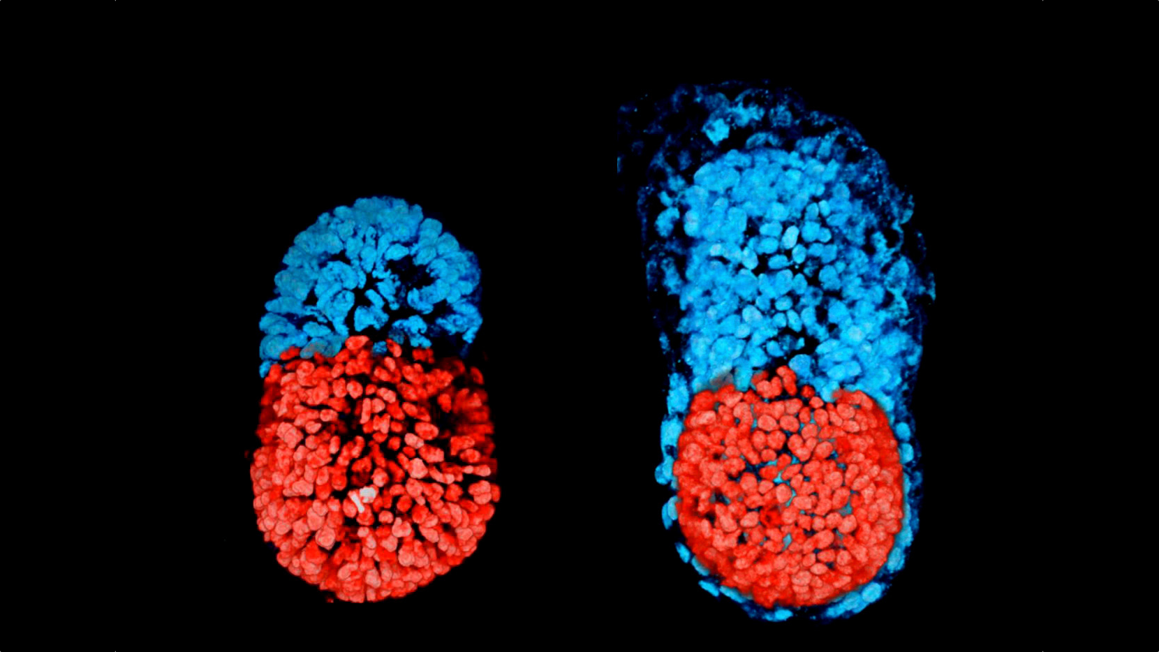 Artificial embryo created for first time in historic breakthrough