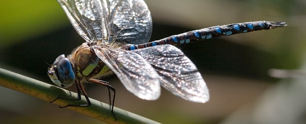 Female Dragonflies Play Dead