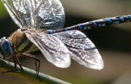 Female Dragonflies Play Dead to Discourage Stalking Males