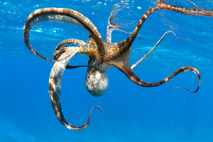 8 Things to Know About Octopuses