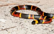 American Vipers: Most Venomous Snakes in the US