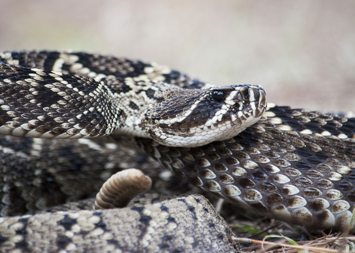 Most Venomous Snake in the US - Eastern Diamond Rattle Snake
